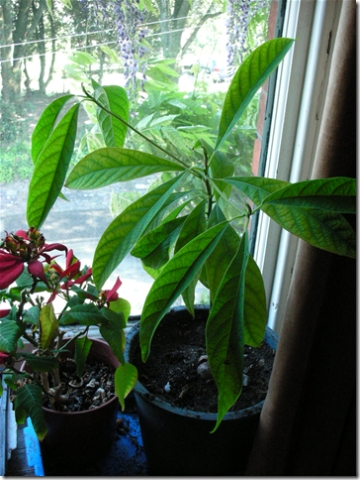 avocado plant and poinsettia on windowsill