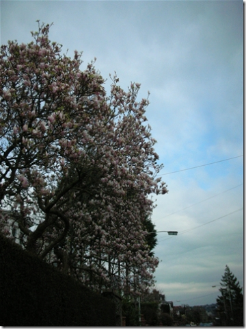 another magnolia tree in bloom