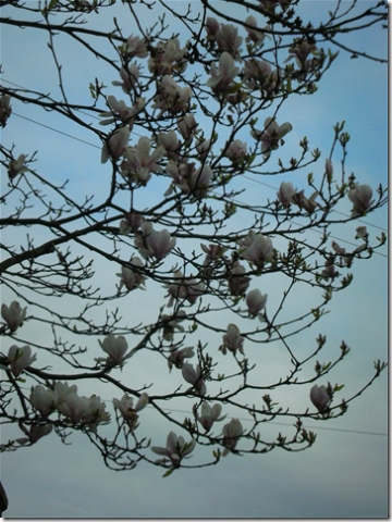 more magnolia flowers