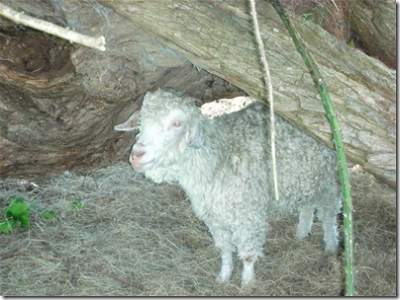 angora goat standing under tree trunk