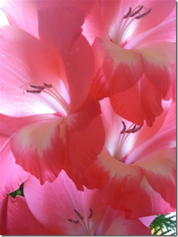 close up of pink gladioli