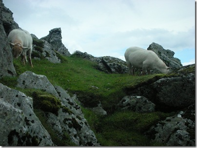 sheep on Snowdon
