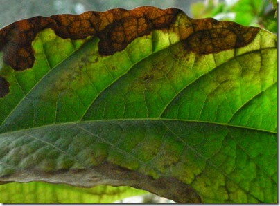 brown edged avocado leaf