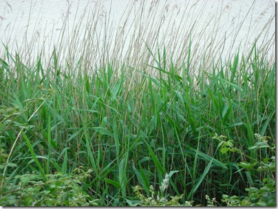 green reeds in june