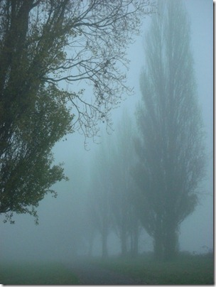 poplar trees in the mist