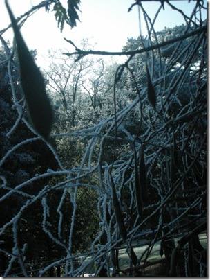 tangle of frosty wisteria