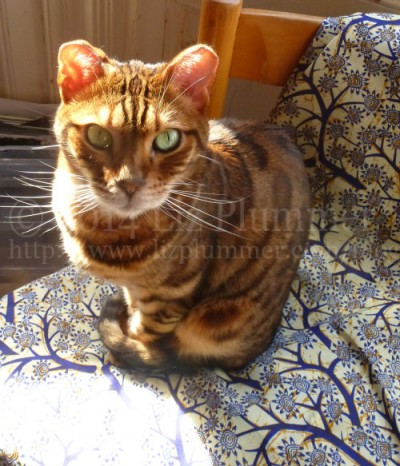 My cat, Ziby, sitting on some newly ironed African fabric