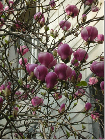 close up of pink magnolia
