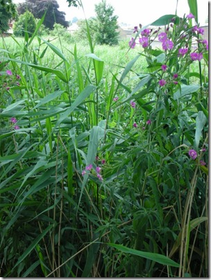 reeds and rose bay willow herb